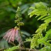 Arbre aux houpettes - Calliandra calothyrsus