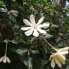 Gardénia du Natal - Gardenia cornuta