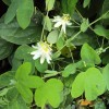 Passiflore blanche - Passiflora subpeltata