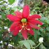 Passiflore rouge - Passiflora manicata
