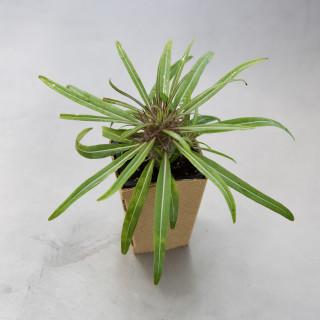 Palmier de Madagascar -...