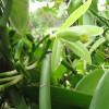 Vanillier - Vanilla planifolia