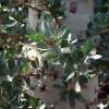 Arbre Boojum - Fouquieria columnaris