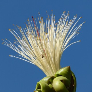 Noisetier de Cayenne - Bombacopsis glabra