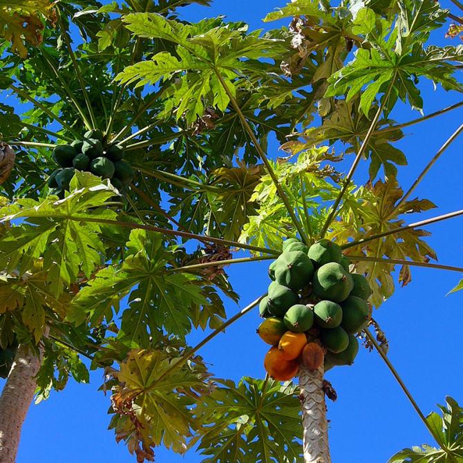 Papayer 'colombo' - Carica papaya 'colombo'