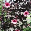Hibiscus à feuilles rouges - Hibiscus acetosella