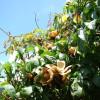 Rose de bois - Merremia tuberosa