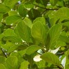 Jacquier - Artocarpus heterophyllus