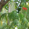 Arbre corail - Jatropha multifida