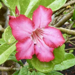 Rose du désert rose