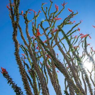 Ocotillo - Fouquieria splendens