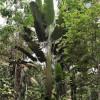 Arbre du voyageur d'Amérique du sud - Ravenala guyannensis