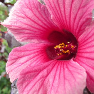 Hibiscus à feuilles rouges