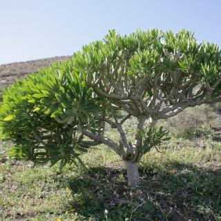 Plante chandelier des Canaries - Kleinia neriifolia