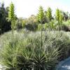 Plante mange-mouton jaune - Puya chilensis