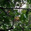 Faux muscadier - Monodora myristica