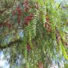 Poivrier sauvage - Schinus molle