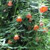 Campanule des Canaries - Canarina canariensis