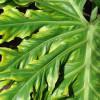 Selloum - Philodendron bipinnatifidum