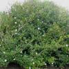Gardénia de Thunberg - Gardenia thunbergia
