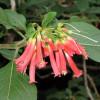 Iochrome rouge brûlant - Iochroma fuchsioides