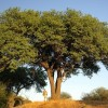 Haricot pleureur - Schotia brachypetala