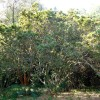 Umzimbeet - Millettia grandis
