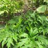 Plante chauve-souris verte - Tacca leontopetaloides