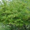 Mimosa clochette - Dichrostachys cinerea
