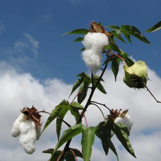 Cotonnier - Gossypium herbaceum