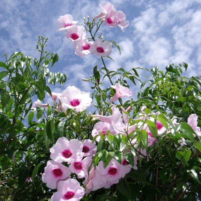 Pandoréa jasmin - Pandorea jasminoides