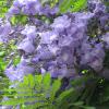 Flamboyant bleu - Jacaranda mimosifolia