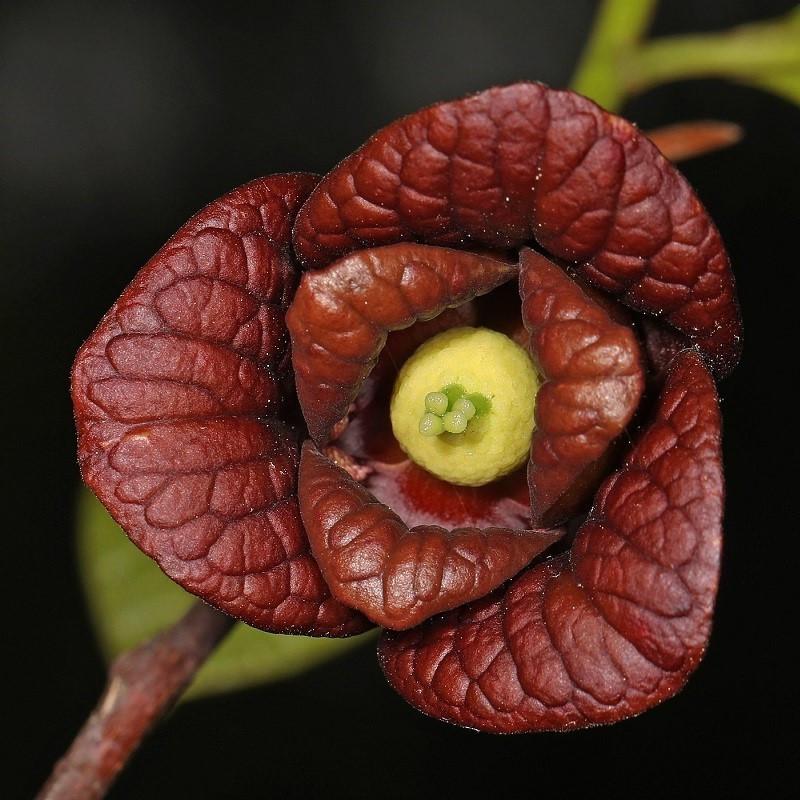 Paw Paw - Asimina triloba