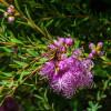 Myrte à feuilles de thym - Melaleuca thymifolia