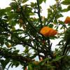Cactus rose - Pereskia bleo
