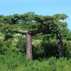 Baobab de Suarez - Adansonia suarezensis