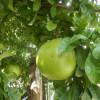 Calebassier - Crescentia cujete