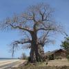 Baobab de Madagascar - Adansonia madagascariensis