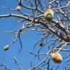 Baobab australien - Adansonia gregorii