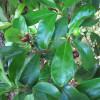 Cerisier du Brésil - Eugenia brasiliensis