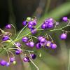 Lis bleu - Dianella longifolia