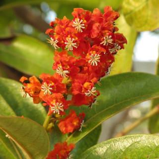 Quiquina des savanes - Byrsonima crassifolia