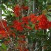 Arbre à roue de feu - Stenocarpus sinuatus
