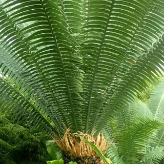 Dioon géant - Dioon spinulosum