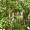 Arbre à saucisses - Kigelia africana