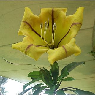 Liane trompette - Solandra grandiflora