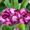 Rose du désert violette - Adenium obesum violet