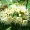 Eucalyptus arc-en-ciel - Eucalyptus deglupta