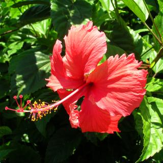 Rose de Chine - Hibiscus rosa-sinensis