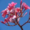 Frangipanier rose - Plumeria rubra pink